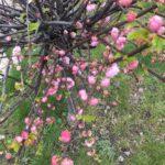 Drzewko z różowymi kwiatami
