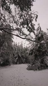 Zdjęcie przedstawia choinki w lesie zasypane śniegiem.
